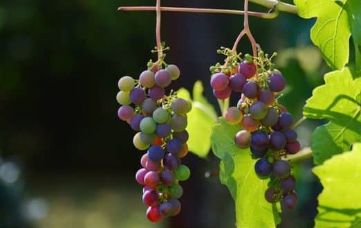 The picture of the two bunches of grapes in the natural environment.