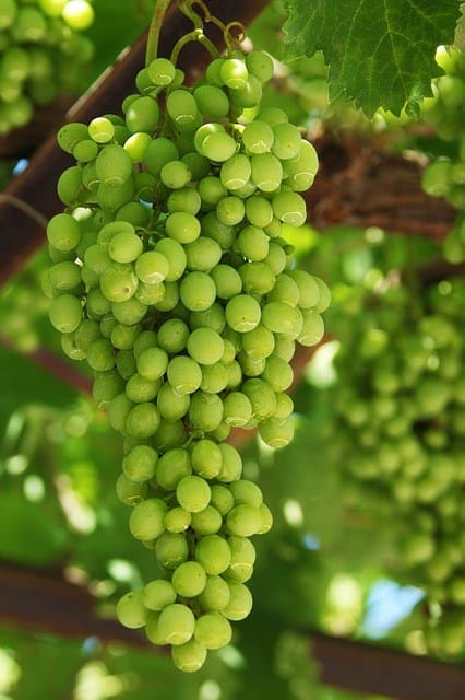The picture of the hanging green grapes.